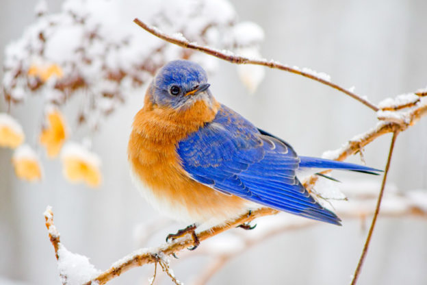 Eastern Bluebird © Cheryl Rose