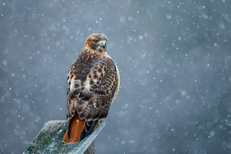 Red-tailed Hawk © Christopher Ciccone