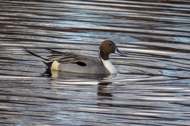 Northern Pintail © Roger Debenham