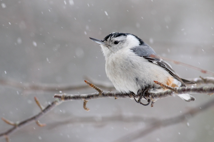 White-breasted Nuthatch © Jonathan Eckerson