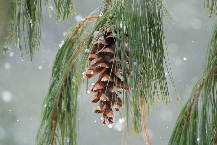 White Pine cone © Claudia Carpinone