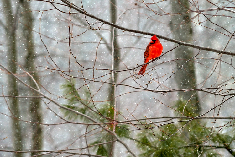 Northern Cardinal © Nathan Butler