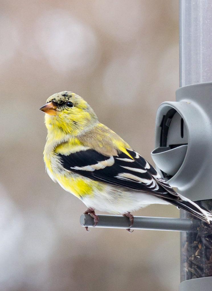 American Goldfinch © Alex Renda