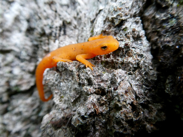 Red Eft © Anna Mitchell