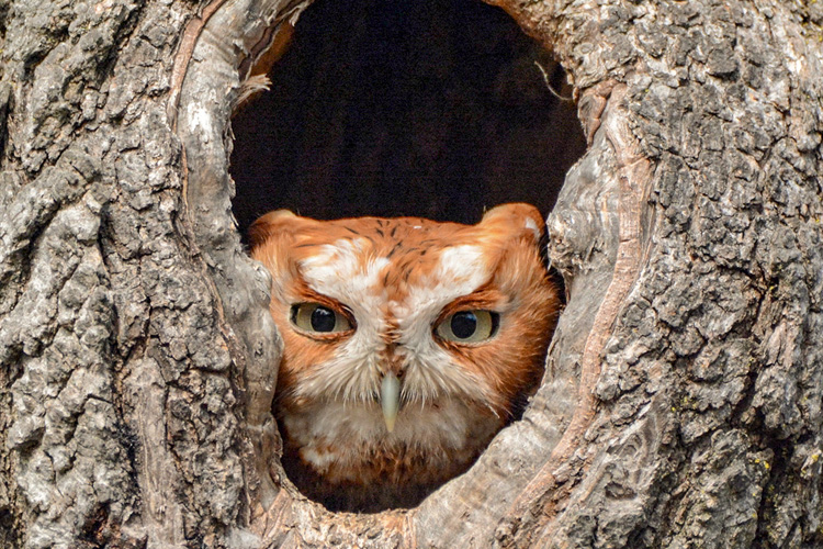 Eastern Screech-Owl © Jeff Martineau