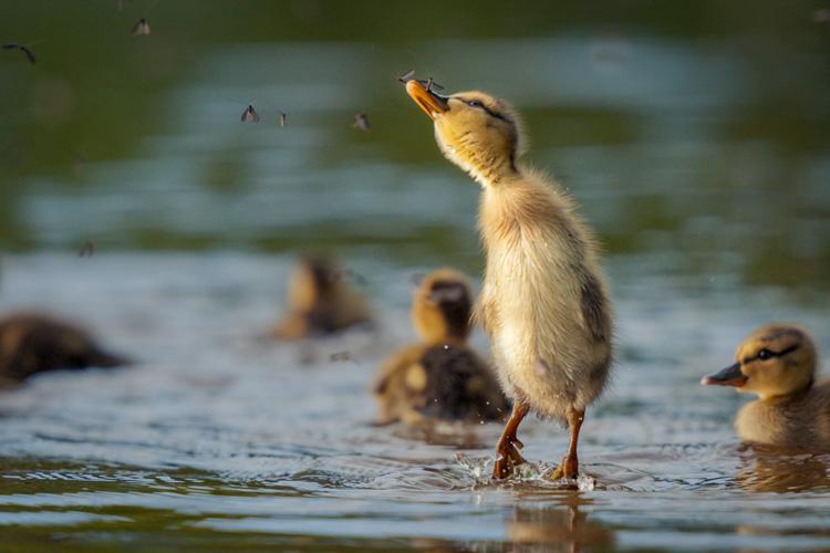 Mallard Ducklings © Nathan Goshgarian