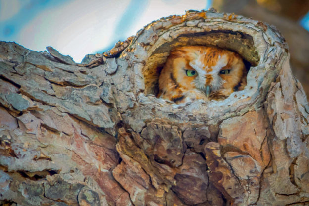 Eastern Screech-Owl © Amy Powers-Smith