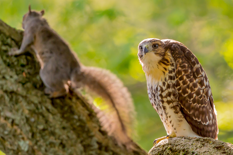Gray Squirrel and Red-Tailed Hawk © David Morris