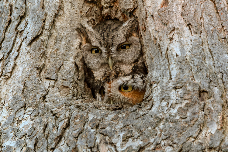 Eastern Screech-Owl © Richard Cuzner