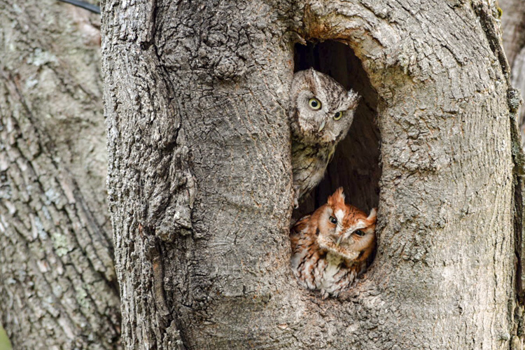 Eastern Screech-Owls © Peter Bartholomew