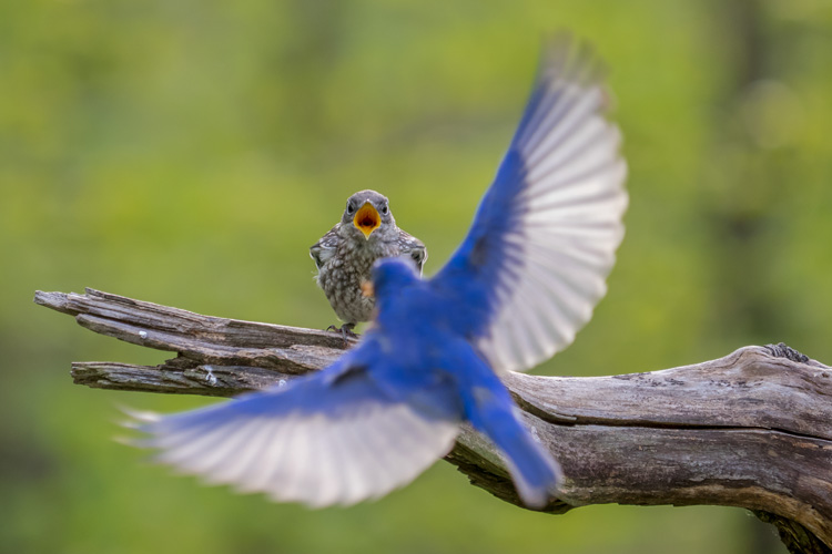 Eastern Bluebirds © William Hottin