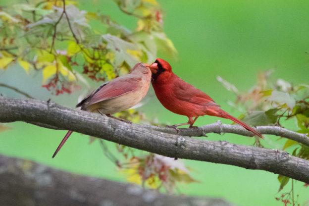 Northern Cardinals © Jason Goldstein