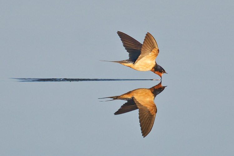 Barn Swallow © Ken Lee