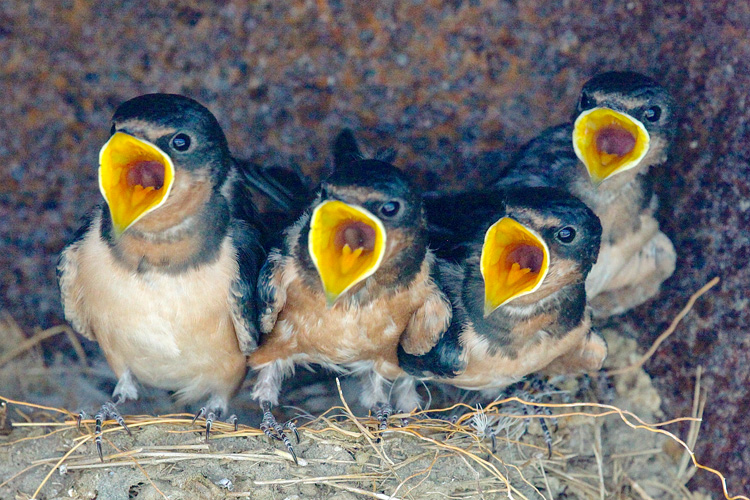 Barn Swallows © Sherri Van den Akker