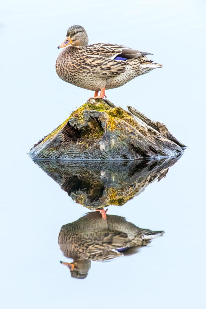 Mallard © Mark Landman