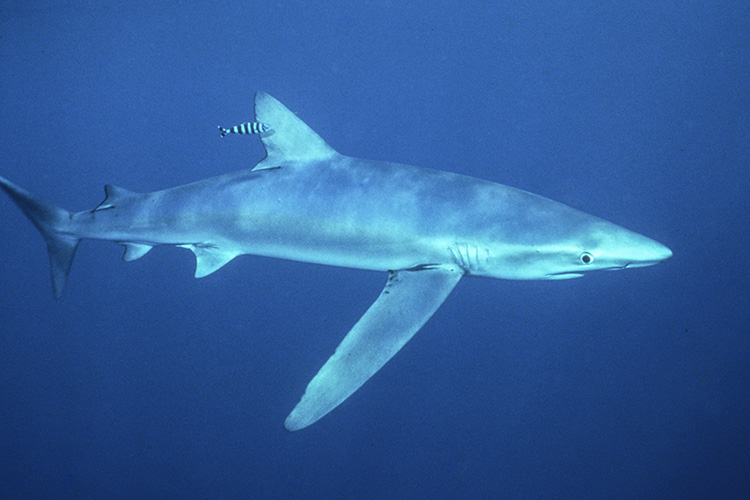 Blue Shark © Kevin McCarthy