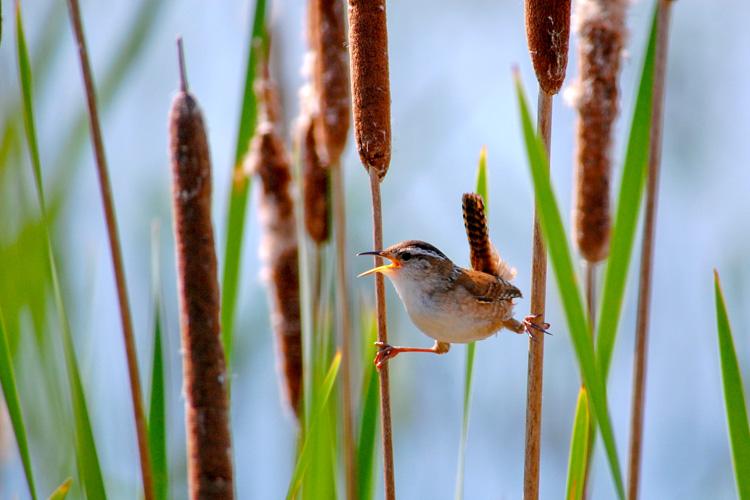 Marsh Wren © Craig Daniliuk