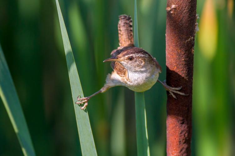 Marsh Wren © Davey Walters