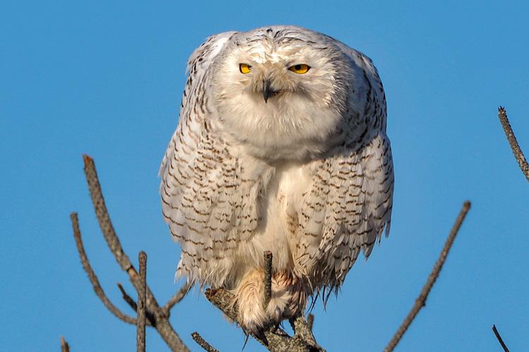 Snowy Owl © Diane Robertson