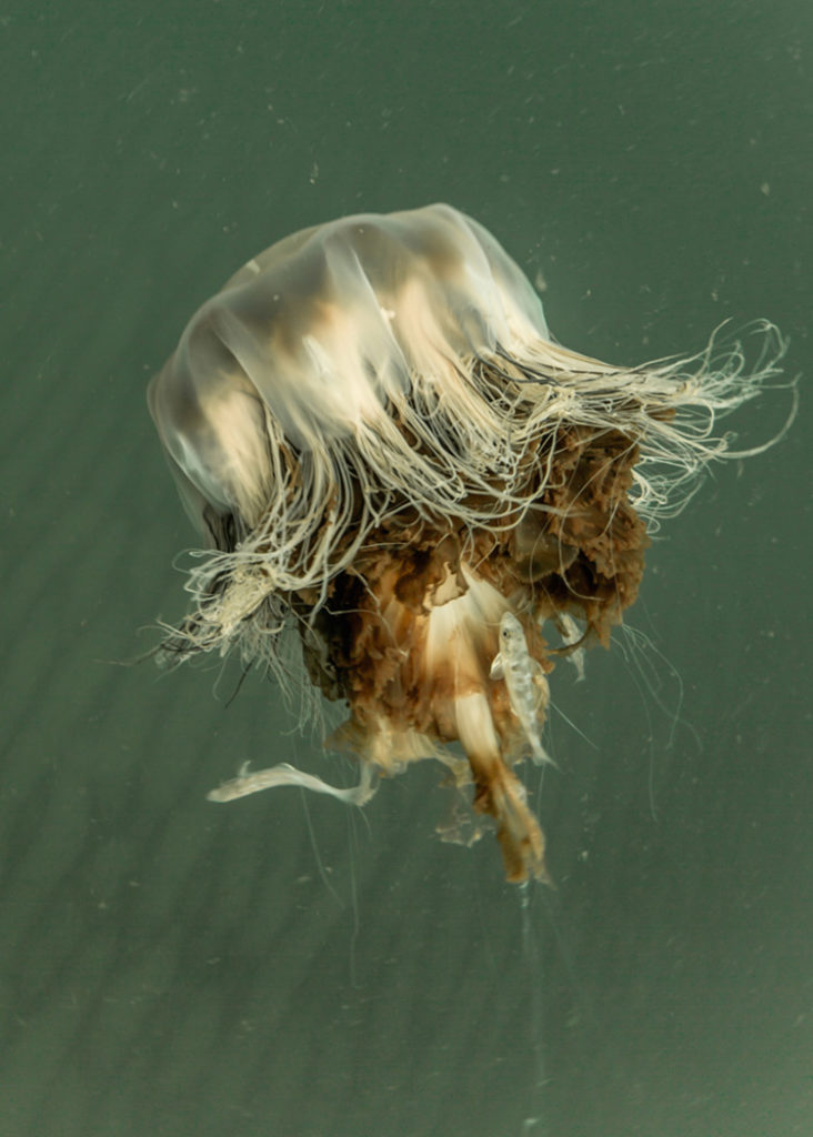 Jellyfish (likely Lion's Mane) © Alex Shure