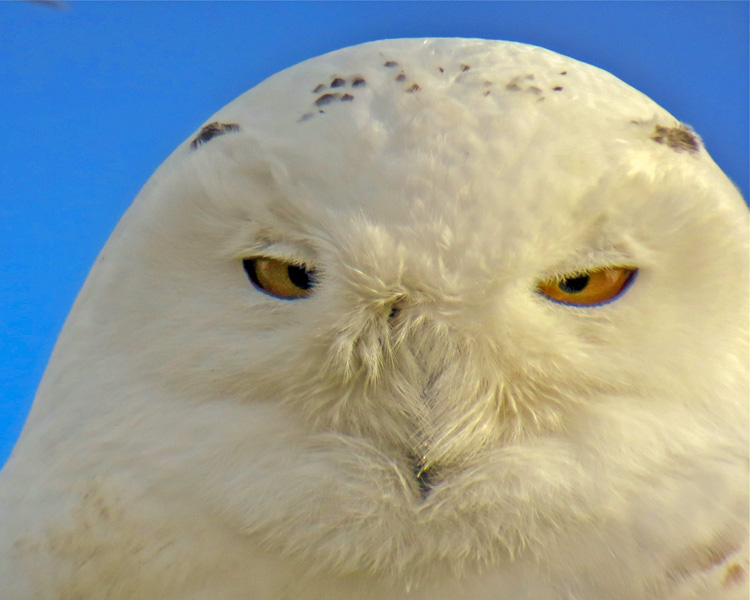 Snowy Owl © David Seibel