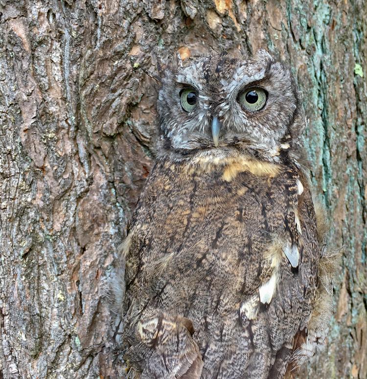 Eastern Screech-Owl © Brad Dinerman
