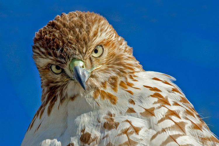 Red- Tailed Hawk © Brooks Mathewson
