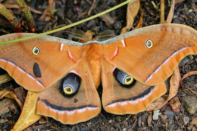 Polyphemus Moth © Martha Pfeiffer
