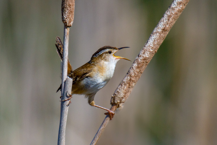 Marsh Wren © Mark Rosenstein