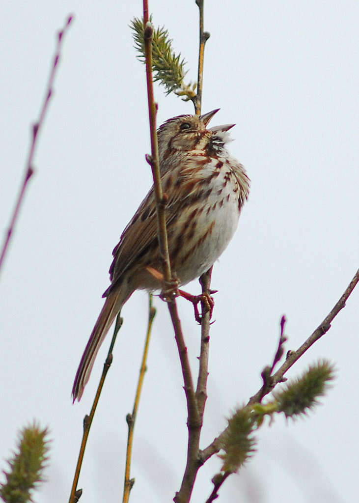 Song Sparrow © Richard Alvarnaz