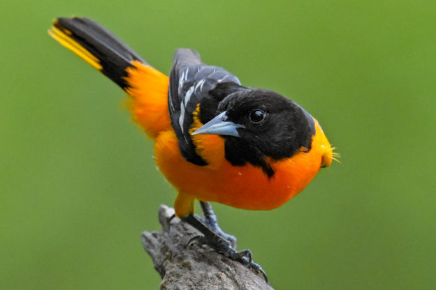 Baltimore Oriole © Lee Millet