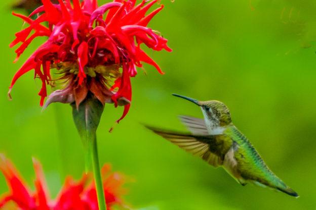Ruby-throated Hummingbird (female) © David Pallin