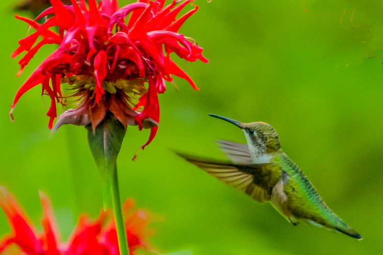 Ruby-throated Hummingbird (female) © David Pallin