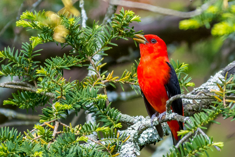 Scarlet Tanager © Jeff Carpenter