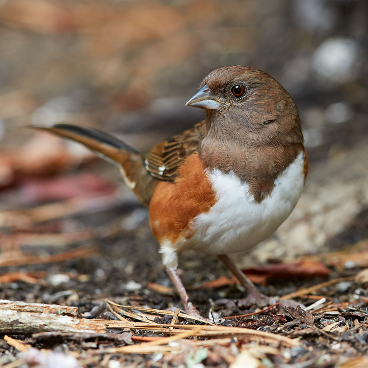 Eastern Towhee © Susan Wellington
