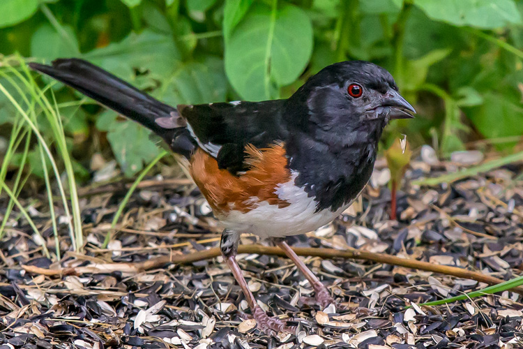 Eastern Towhee © Mike Duffy