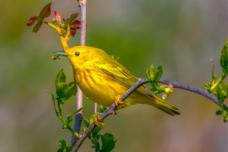 Yellow Warbler © Bernard Creswick