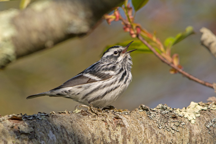 Black and White Warbler © Brad Dinerman