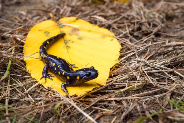 Spotted Salamander © Ryan Dorsey/Mass Audubon
