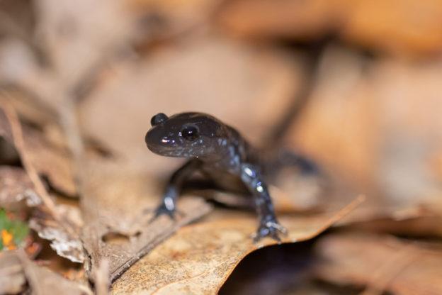 blue spotted salamander