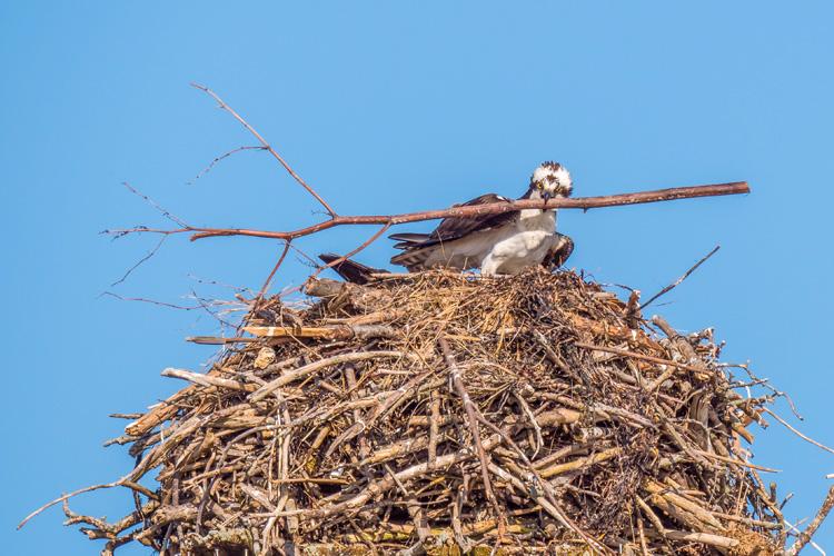 Osprey © Terri Nickerson