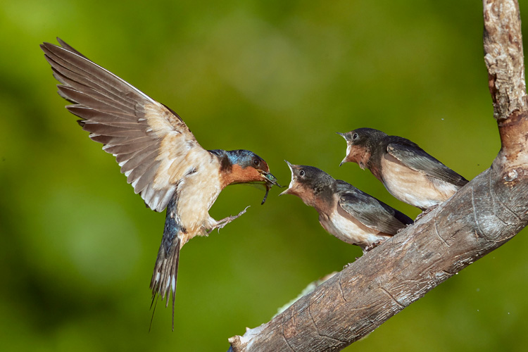 Barn Swallows © Kim Caruso