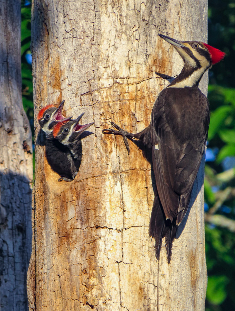 Pileated Woodpeckers ©Daniel Tracey