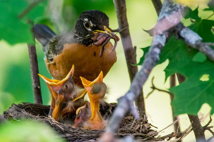 American Robins © Grace Chu
