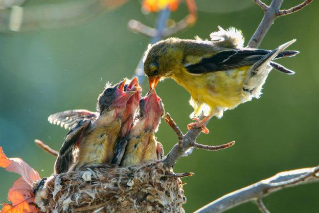 American Goldfinches © Roberto De Souza