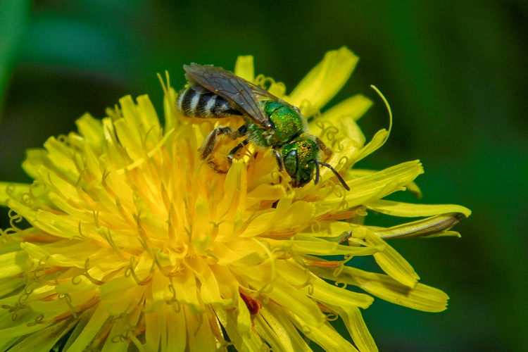 Green Sweat Bee (Agapostemon virescens) © Emily Gauvin