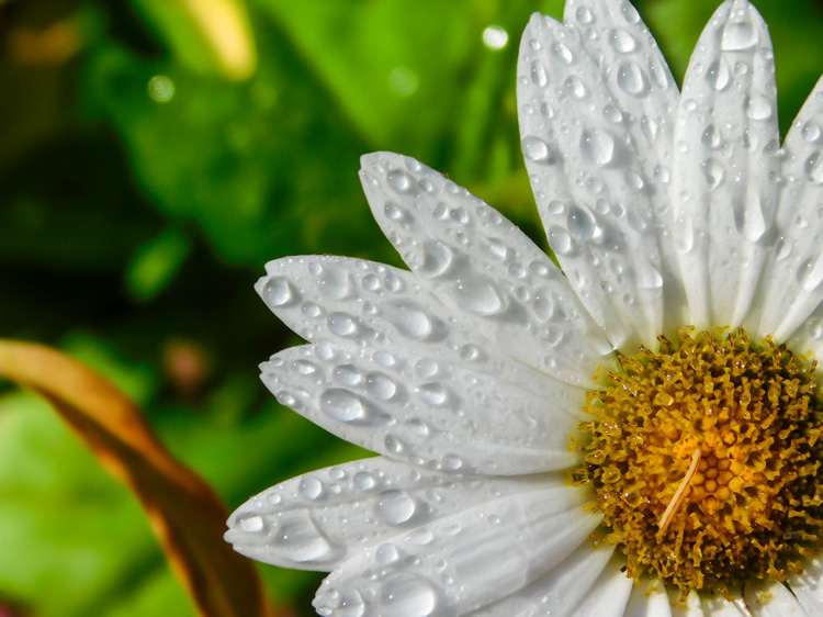 Water droplets on a daisy © Ann Marie Sweetsir