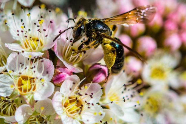Mining Bee (Genus Andrena) © Daniel McNamara