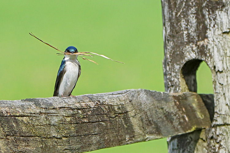 Tree Swallow © Steve Nikola