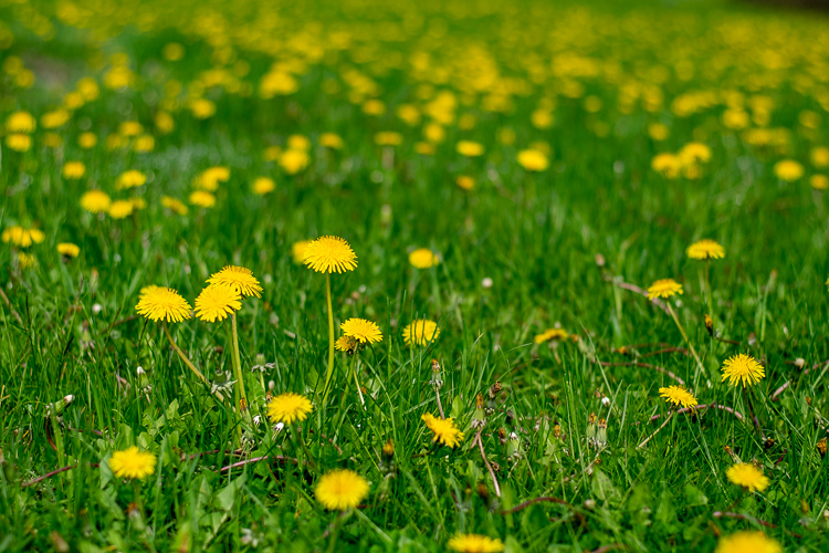 Dandelions © Mass Audubon